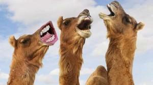 Ricky-Camel